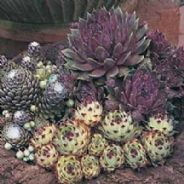 Sempervivum Species Mix - Appx 250 seeds